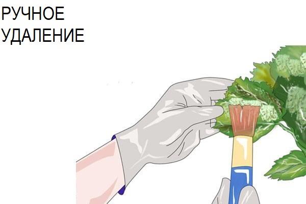 удаление тли руками